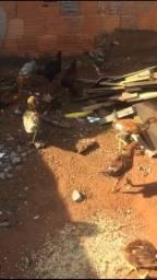 Vendo frangos e frangas em Uberlândia