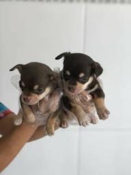 Chihuahua cores exóticas e padrão único da raça, adquira conosco (11)95932-0322