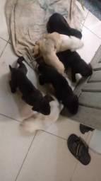 Lindos filhotes de Labrador com Pitbull