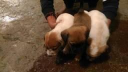 Pitbull doa-se filhotes de cachorro