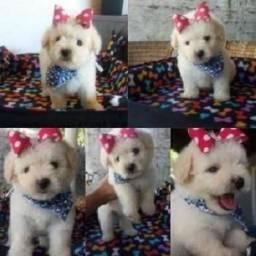 Poodle toy fêmea filhotinha linda