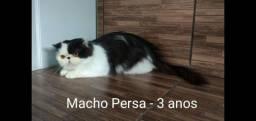 Gatos Persas Padrão Show Com Pedigree FIFE