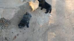Cachorro filhote de Chow Chow