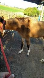 Vendo mula carçada