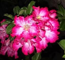 Flor do deserto, lindíssima!