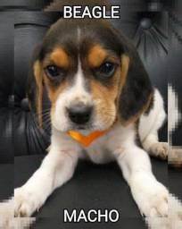 Beagle macho muito lindo