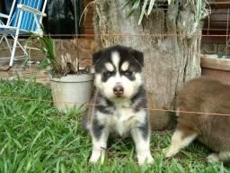 Husky Siberiano Todas as cores, excelente padrão da raça, com assistência vet. gratuito