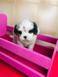 Adoráveis filhotes de Mini Shihtzu a Pronto Entrega ABC
