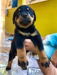 Rottweiler (Macho ou Fêmea)