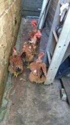 Vendo 2 galinhas e 2 galos.