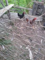Galo e frango