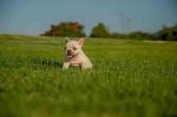 Melhor filhote de Bulldog Francês -Fêmea - Negociamos o Valor