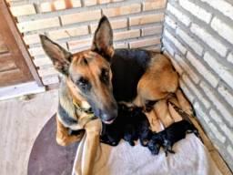 Pastor Alemão filhotes nascidos em 14 de setembro de 2018. Whatsapp (85) 9 8910-6496