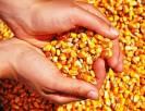 Lote de milho