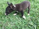 Bull terrier macho 800,00