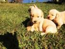 Canil Golden Retriever padr�o Cbkc